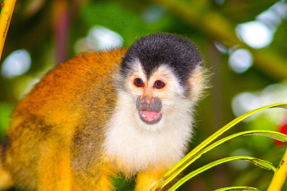squirrel monkey corcovado costa rica
