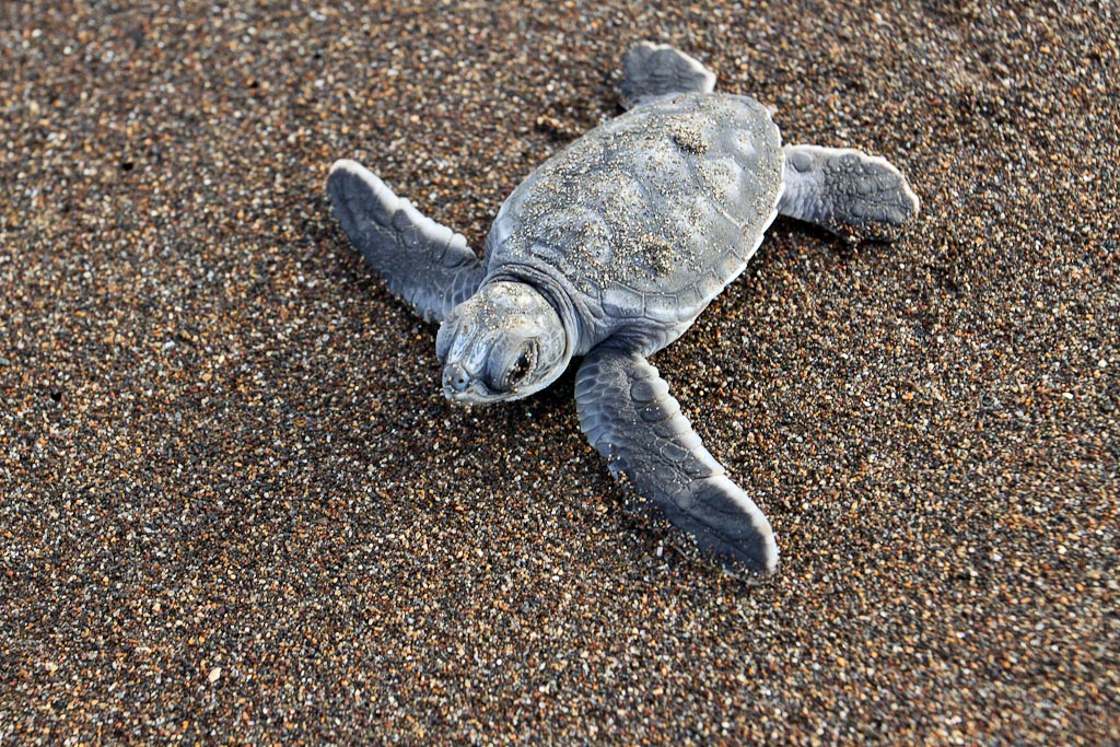 how conservation saved tortuguero blog baby turtle 