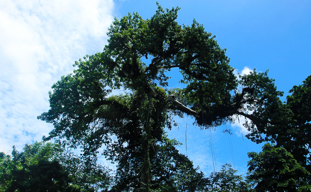 how conservation saved tortuguero blog tall tree 