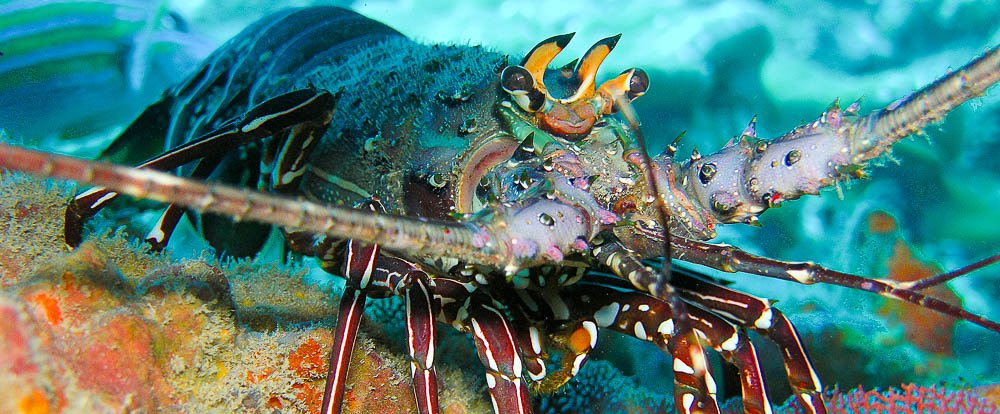lobster underwater 