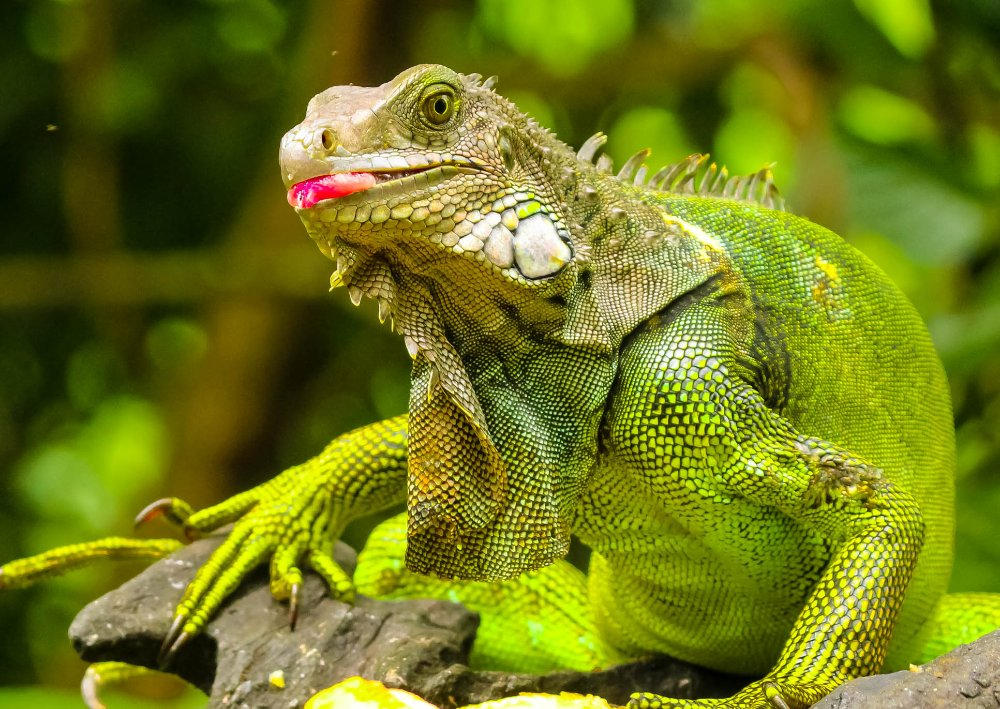 green iguana sticking its toungue out at gringo curts restaurant 
