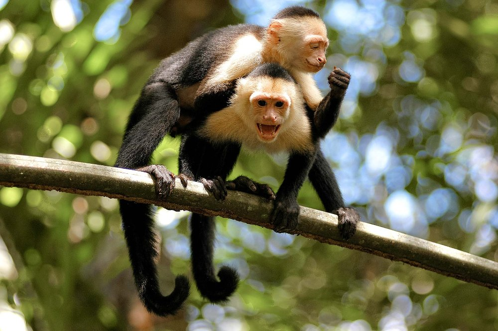 white face monkeys on branch tortuguero