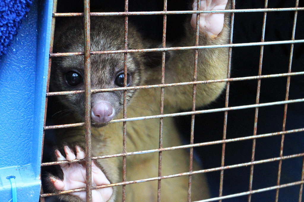 releasing the kinkajou blog kinkajou 