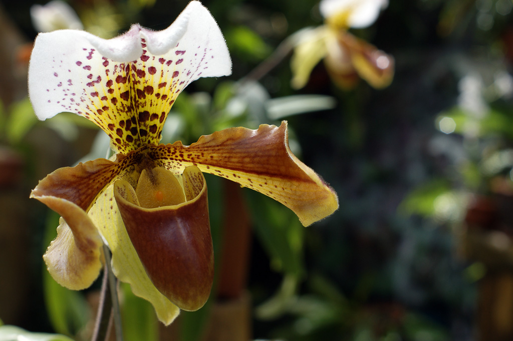 shoe orchid  