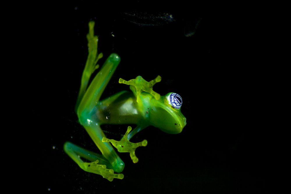 Costa Rica Glass Frogs