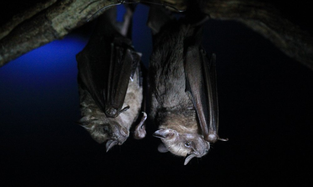 bat jungle bat pair 