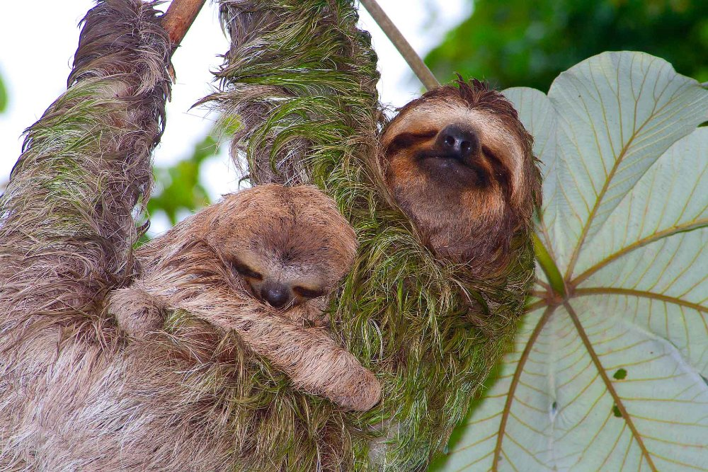 sloths on cecropia tree manuel antonio   - Costa Rica