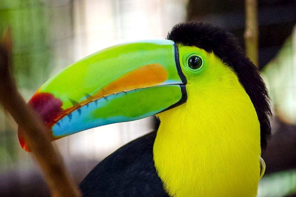 rainbow bill toucan la paz - Costa Rica