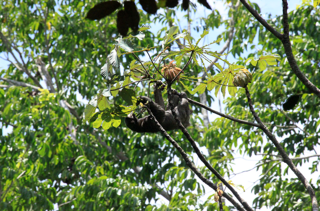 sloth sanctuary three toed eats cecropia 