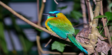 Blue-Crowned Motmots - Costa Rica