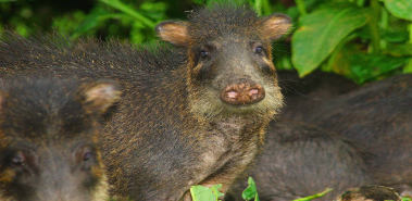 Collared Peccaries - Costa Rica