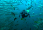 Scuba Diving in a School of Fish