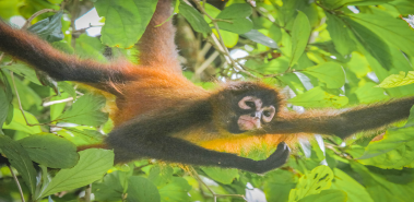 Spider Monkeys - Costa Rica