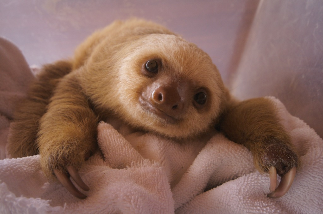 baby two toed sloth - photo #17