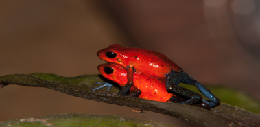 Blue Jeans Poison Dart Frogs - Costa Rica