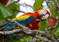 Scarlet Macaw Feasting in Drake Bay