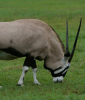 Gemsbok at Africa Mia