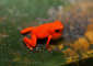 Male Strawberry Dart Frog Singing in Puerto Viejo