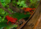 Singing Strawberry Poison Dart Frog and Mate