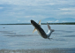 Jumping Tarpon at Barra del Colorado
