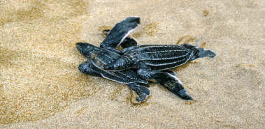 Leatherback Sea Turtles - Costa Rica