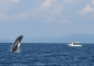 Killer Whale Breeching on Whale-watching Tour