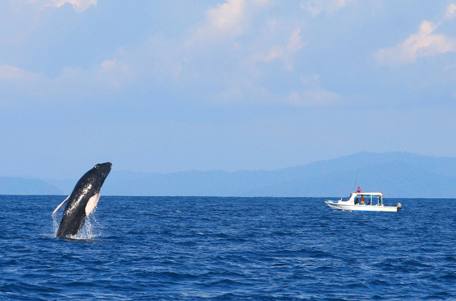 whale watching tour breeching whale   - Costa Rica