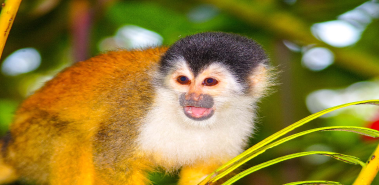 Squirrel Monkeys - Costa Rica