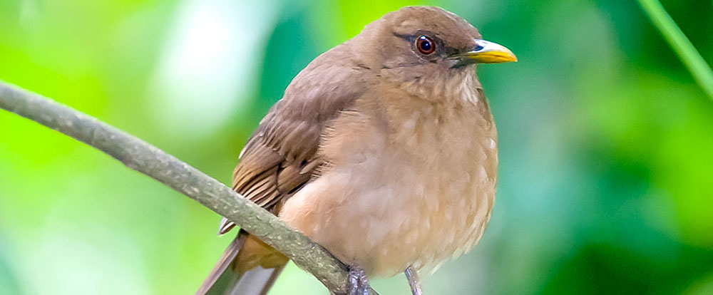 clay colored thrush national bird