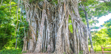 Cabuya Towering Strangler Fig Tree - Costa Rica