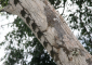 Long-nosed Bats Roosting on Tree
