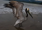 Brown Pelican on the Osa Peninsula
