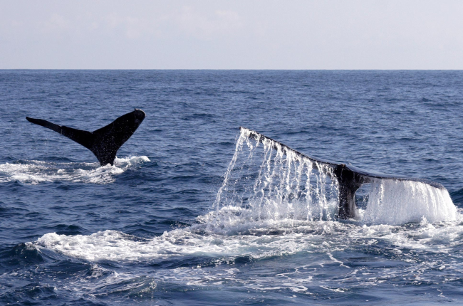 whale tails above sea   - Costa Rica