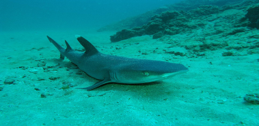 White Tip Reef Sharks - Costa Rica