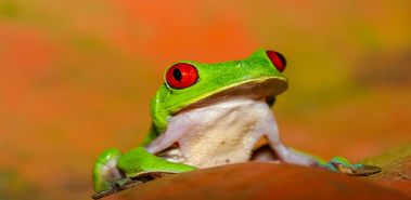 Red-Eyed Tree Frogs - Costa Rica