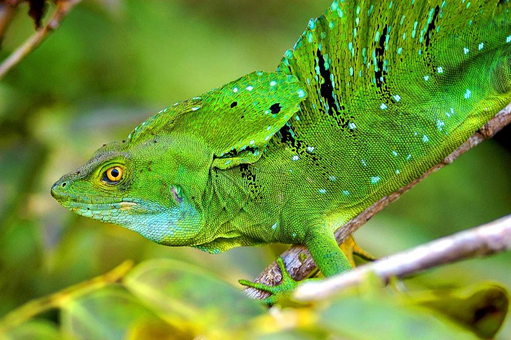 Santa Maria Honda >> Basilisk Lizards