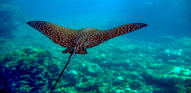 Spotted Eagle Rays - Costa Rica