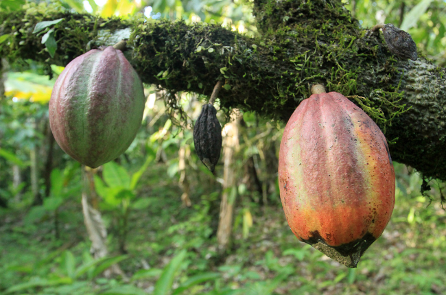 puerto viejo destination cacao fruit   - Costa Rica