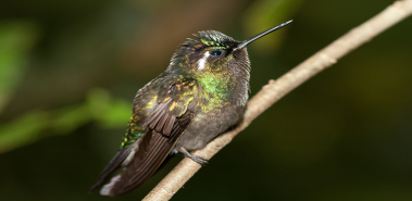 Hummingbirds - Costa Rica