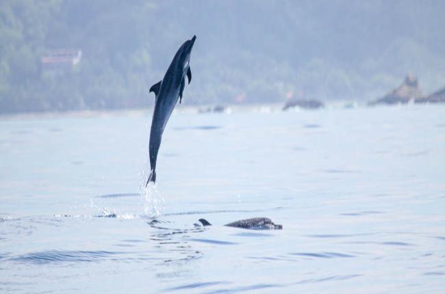 Dolphin mid air - costa rica