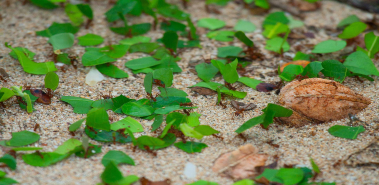 Leafcutter Ants - Costa Rica