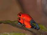Blue Jeans Poison Dart Frogs