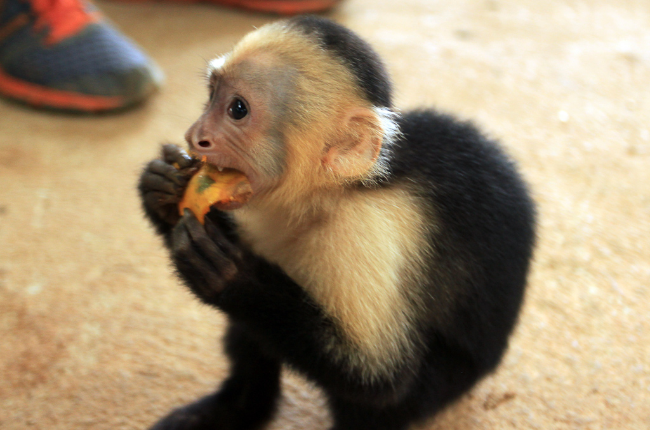 Capuchin monkey gnawing on a piece of mango