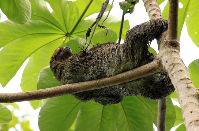 Three toed sloth reclining in a cecropia tree