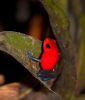 Blue Jeans Poison Dart Frog on Plant