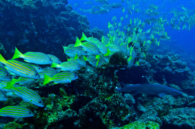 cocos whitetipblueandgoldsnapper