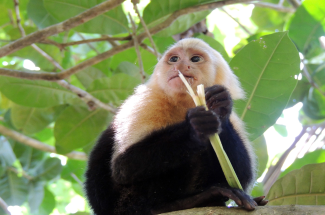 manuel antonio national park attraction capuchin 