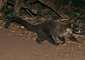 Coati Encounter on Monteverde Night Walk
